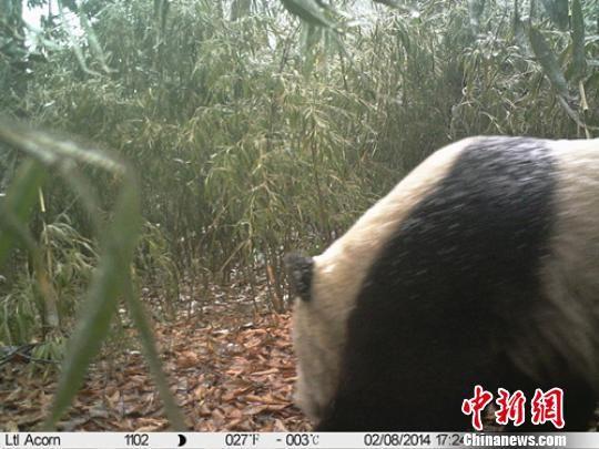 野外红外监测相机拍到大熊猫的头部 管理局提供 摄